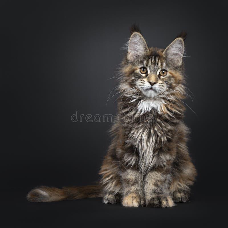 Gatito del gato de Tortie Maine Coon en negro foto de archivo