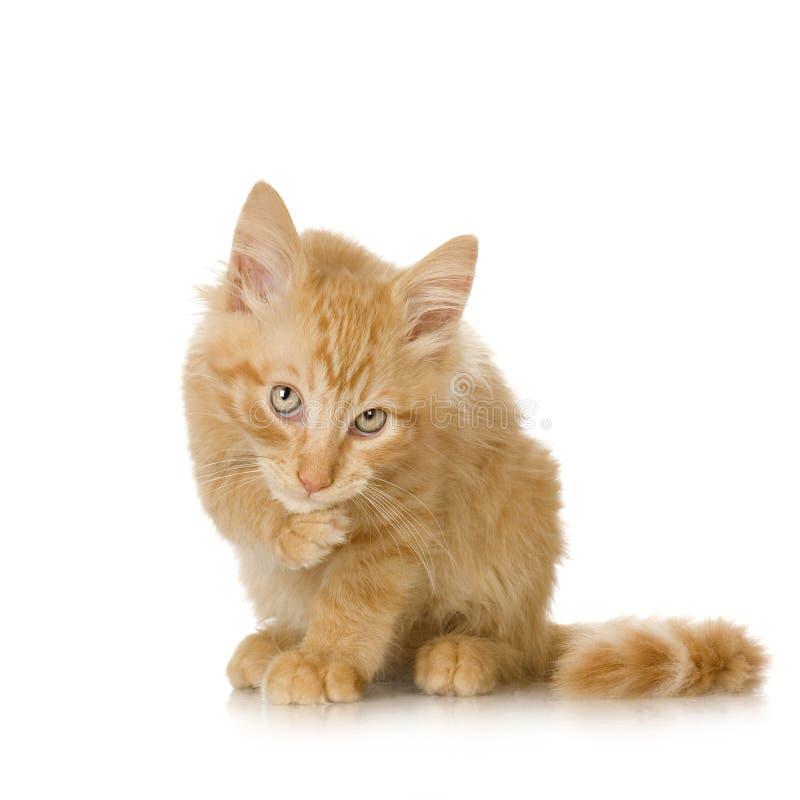 Gatito del gato del jengibre imagenes de archivo