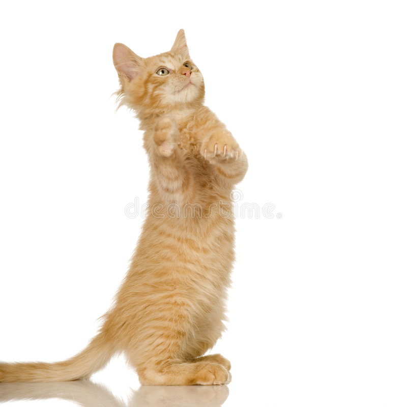 Gatito del gato del jengibre foto de archivo
