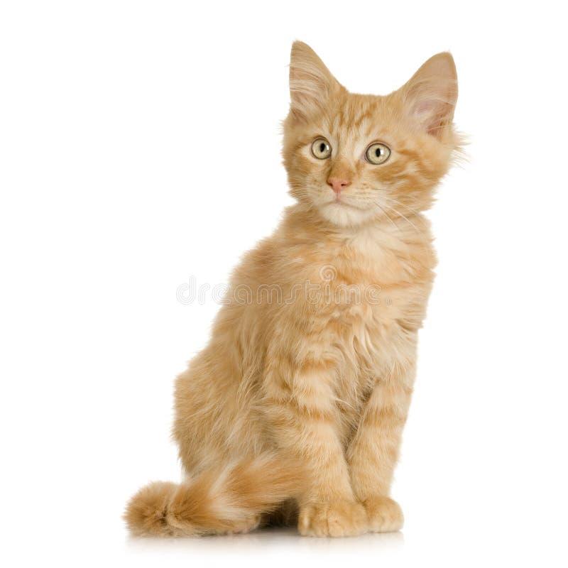 Gatito del gato del jengibre fotografía de archivo libre de regalías