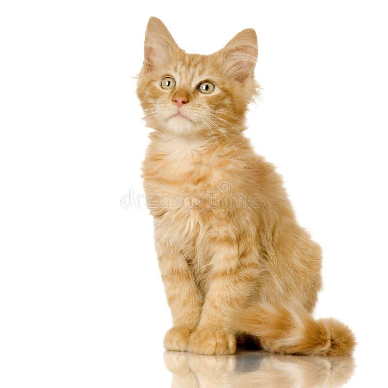 Gatito del gato del jengibre imagen de archivo libre de regalías