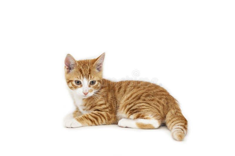 Gatito del jengibre en blanco imagen de archivo