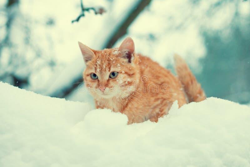 Gatito del jengibre que camina en nieve foto de archivo libre de regalías