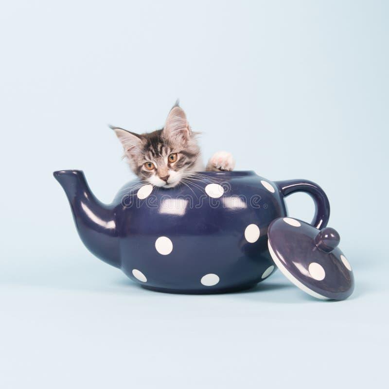 Gatito del mapache de Maine en pote del té imagen de archivo