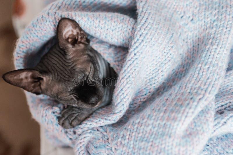 Gatito del sphynx de Grey Canadian que duerme en puente hecho punto fotos de archivo libres de regalías