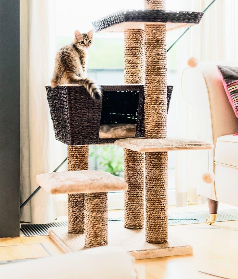 Gatito divertido del jengibre que juega en árbol del gato en sala de estar en la ventana Gato criado en línea pura siberiano imagen de archivo