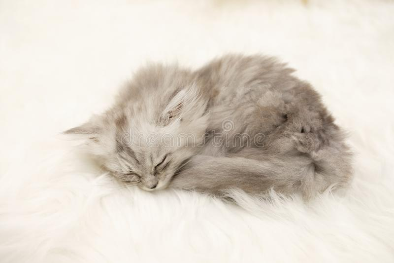 Gatito el dormir en la alfombra blanca de la piel fotos de archivo