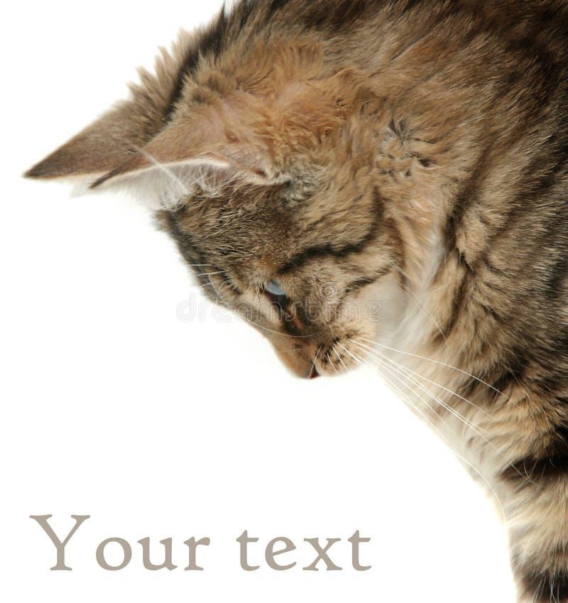 Gatito en blanco fotografía de archivo libre de regalías