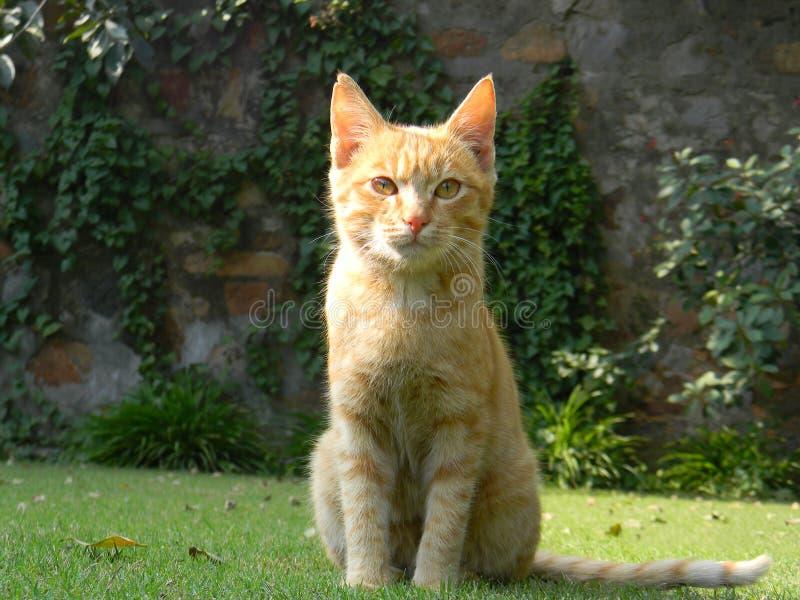 Gatito en el césped foto de archivo libre de regalías