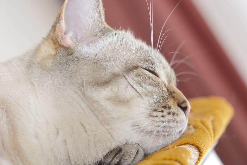 gatito escocés durmiendo en la cama fotografía de archivo libre de regalías