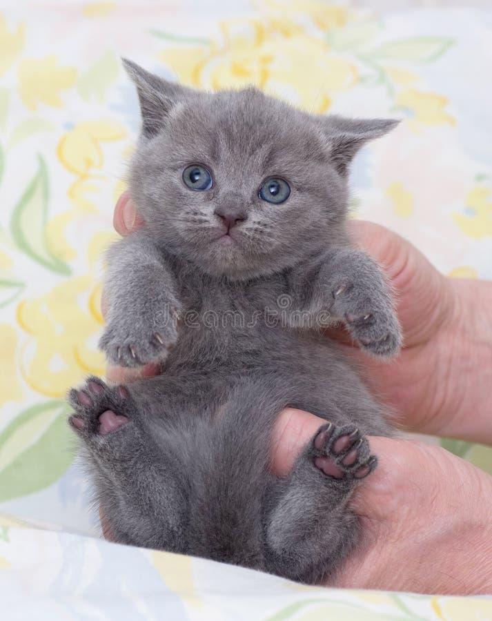 Gatito escocés hermoso en manos fotografía de archivo libre de regalías