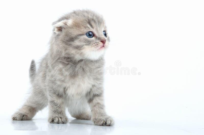 Gatito escocés joven hermoso del oído del flod imagen de archivo
