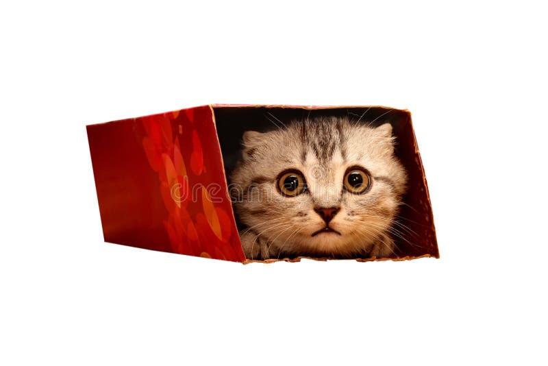 Gatito escocés que mira a escondidas en la caja foto de archivo