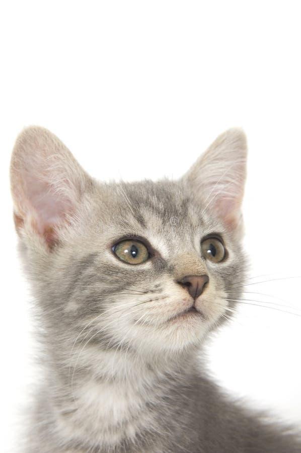 Gatito gris 3 foto de archivo