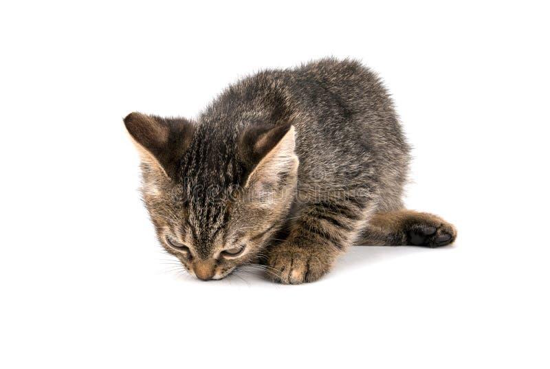 Gatito gris del gato atigrado que mira abajo en el fondo blanco fotos de archivo