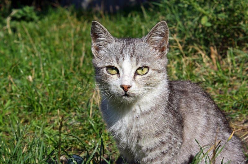 Gatito gris del gato que se sienta en la hierba fotos de archivo libres de regalías