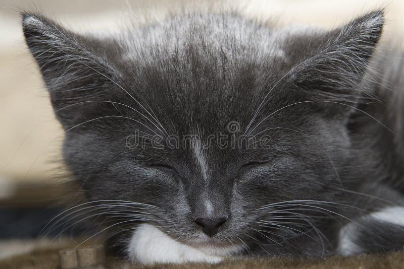Gatito gris el dormir fotografía de archivo