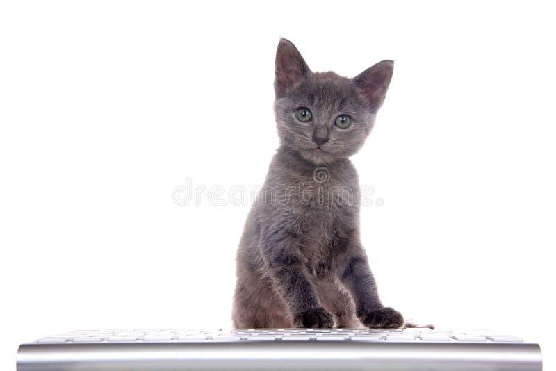 Gatito gris en un teclado de ordenador aislado en blanco fotos de archivo