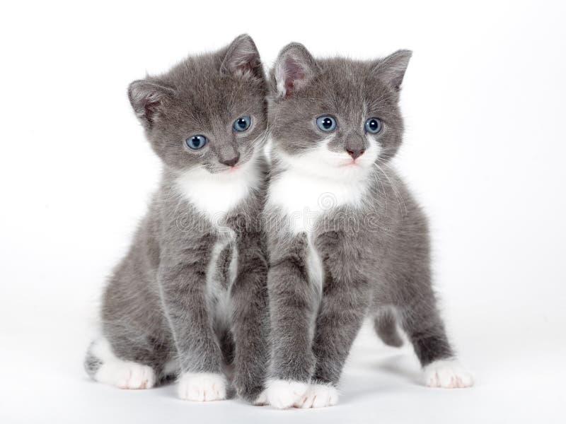 Gatito gris eyed azul dos aislado imagenes de archivo