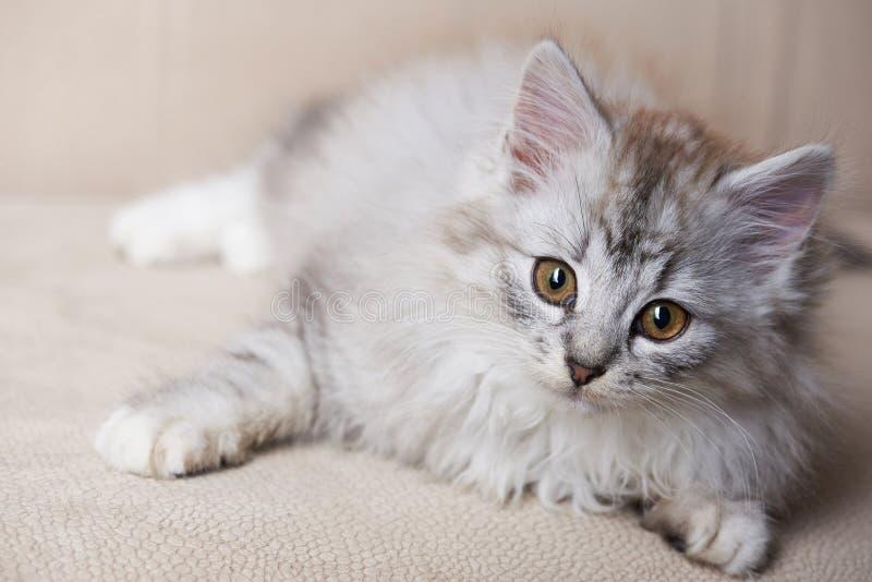 Gatito gris juguetón mullido foto de archivo libre de regalías