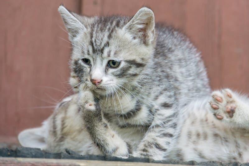 Gatito gris lindo fotos de archivo libres de regalías