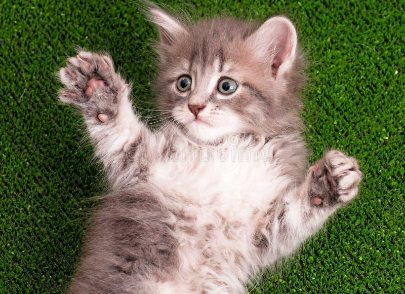 Gatito gris lindo imagen de archivo libre de regalías