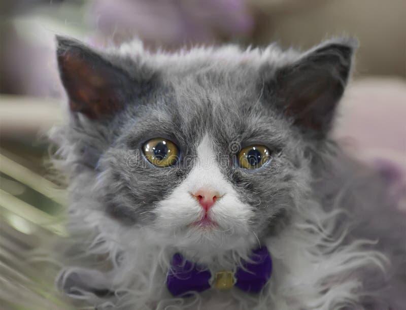 Gatito gris lindo de Selkirk Rex fotografía de archivo
