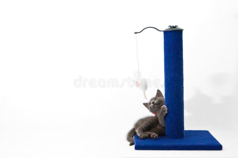 Gatito gris que juega con un poste de rasguño foto de archivo libre de regalías