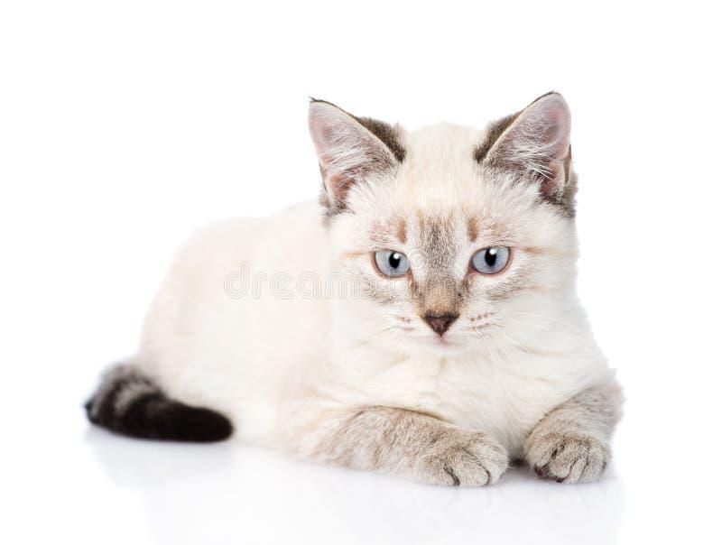 Gatito gris que mira la cámara Aislado en el fondo blanco fotografía de archivo libre de regalías