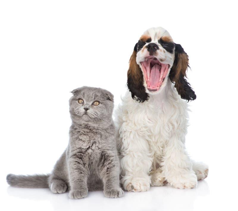Gatito gris que se sienta con el perrito de bostezo de cocker spaniel Aislado imagen de archivo libre de regalías