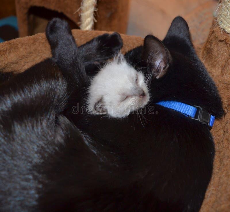 Gatito huérfano con el gato de la madre adoptiva fotos de archivo