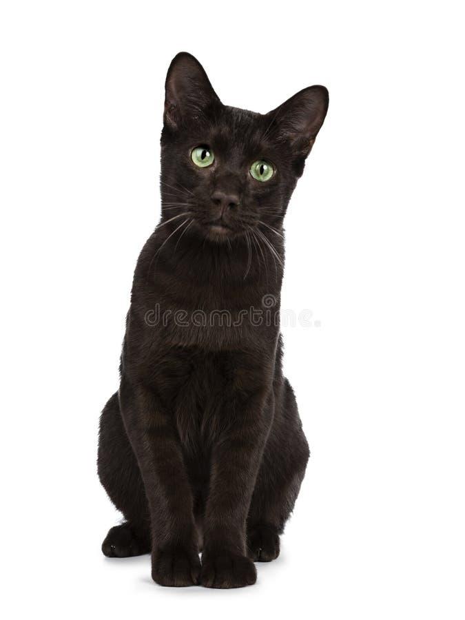 Gatito joven del gato de Havana Brown del adulto, aislado en un fondo blanco imagen de archivo