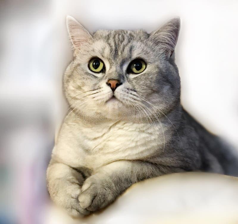 Gatito lindo de Cat Grey British en animales divertidos ligeros imagen de archivo