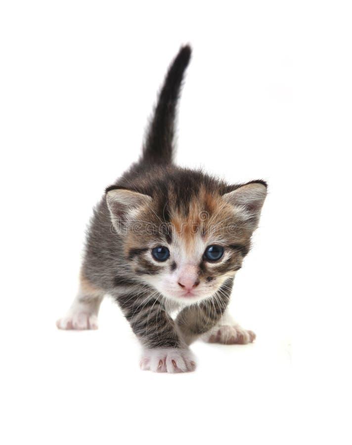 Gatito lindo del bebé en un fondo blanco fotografía de archivo libre de regalías