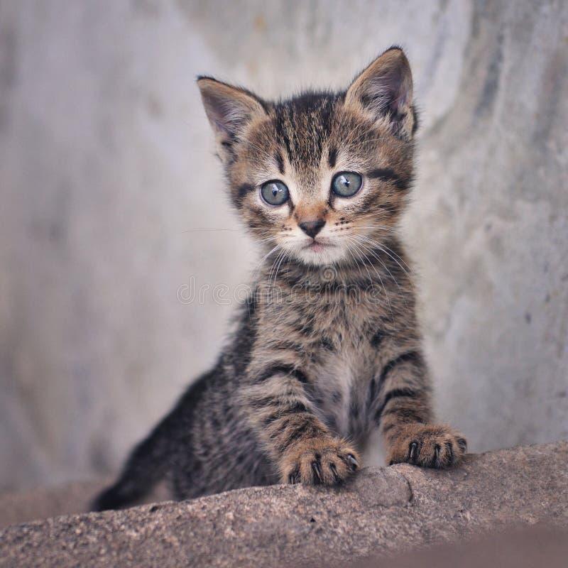 Gatito lindo del gato atigrado en fondo gris foto de archivo