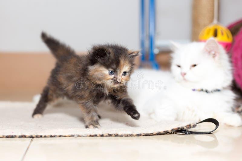 Gatito lindo del gato persa imágenes de archivo libres de regalías