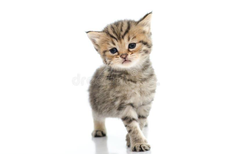Gatito lindo del tabby en el fondo blanco fotografía de archivo