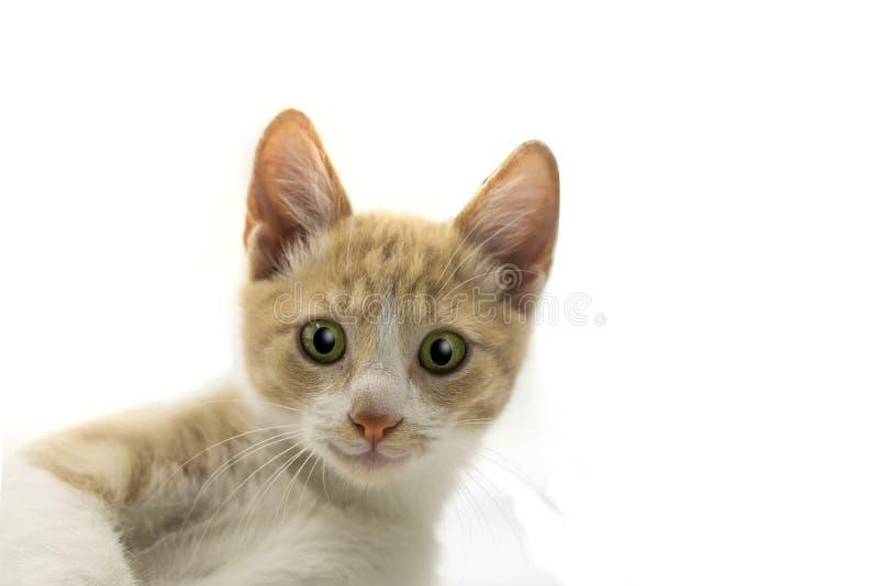 Gatito lindo divertido que se sienta y que sonríe Retrato aislado del gato imagen de archivo libre de regalías