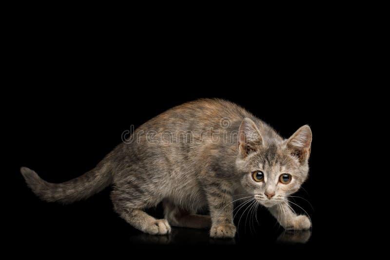 Gatito lindo en fondo negro aislado imágenes de archivo libres de regalías