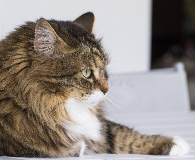 Gatito lindo en la casa que mira hacia fuera, gato de gato atigrado marrón imagen de archivo
