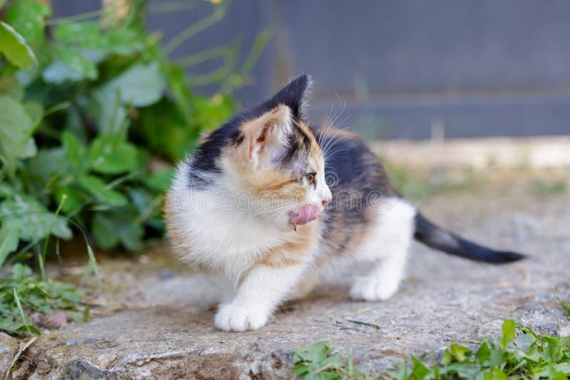 Gatito lindo que se lame la cara al aire libre en el verano Pequeña Cat Sitting In Grass imagen de archivo