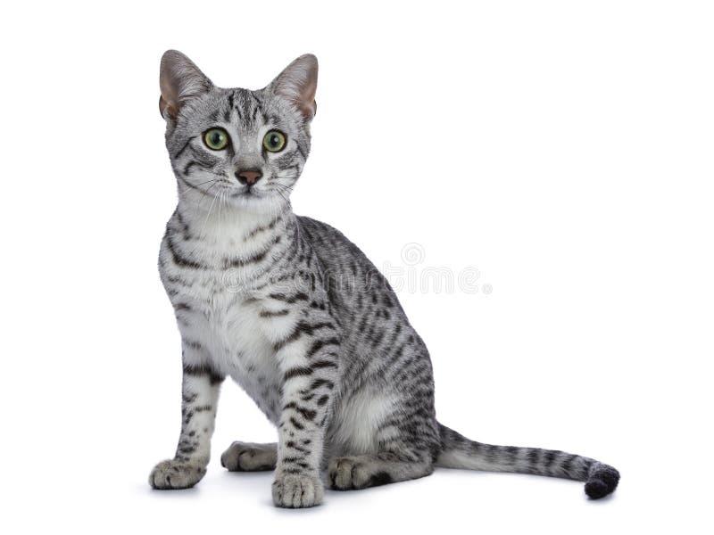 Gatito manchado plata linda del gato de Mau del egipcio que se sienta derecho encima de aislado en el fondo blanco que mira al la imagen de archivo