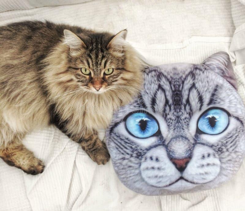 Gatito marrón peludo de la raza siberiana cerca de una almohada del gato fotografía de archivo