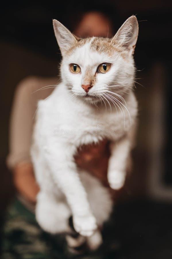 Gatito mestizo en las manos foto de archivo libre de regalías