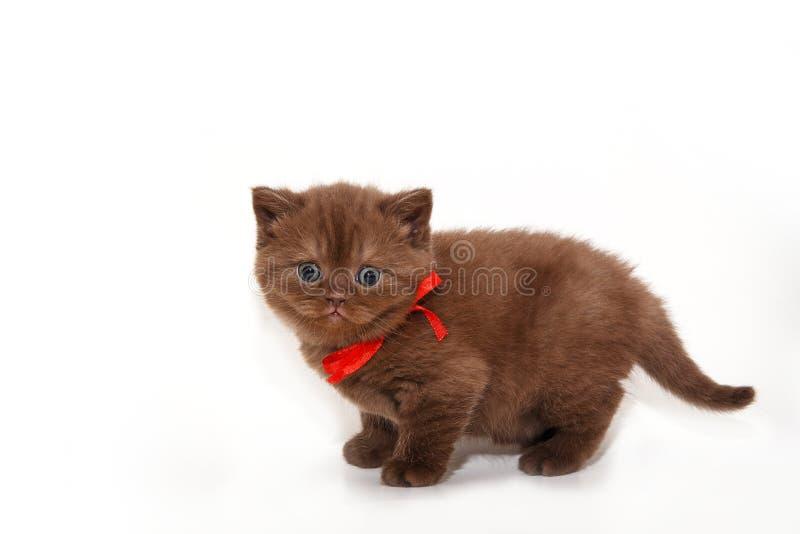 Gatito mullido del chocolate con un arco rojo en un fondo blanco Retrato del primer de un gato Gatito romántico foto de archivo