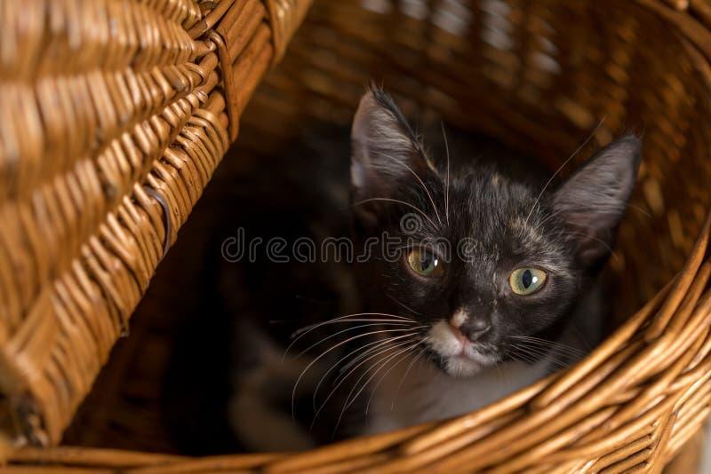 Gatito negro, blanco, y anaranjado que miente en cesta de la comida campestre imagenes de archivo