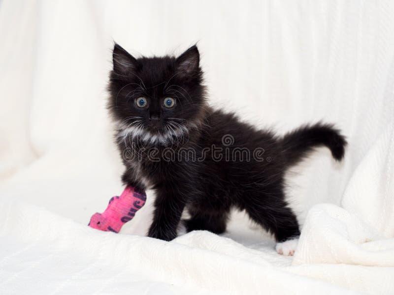 Gatito negro herido con la pata vendada fotos de archivo
