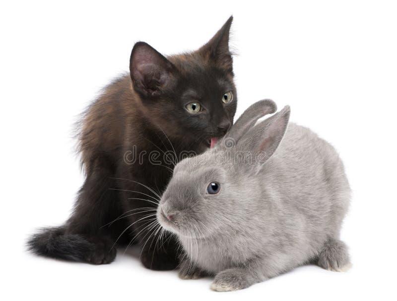 Gatito negro que juega con el conejo foto de archivo