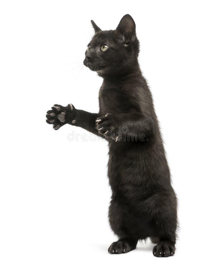 Gatito negro que se coloca en las piernas traseras, el jugar, mirando para arriba foto de archivo libre de regalías