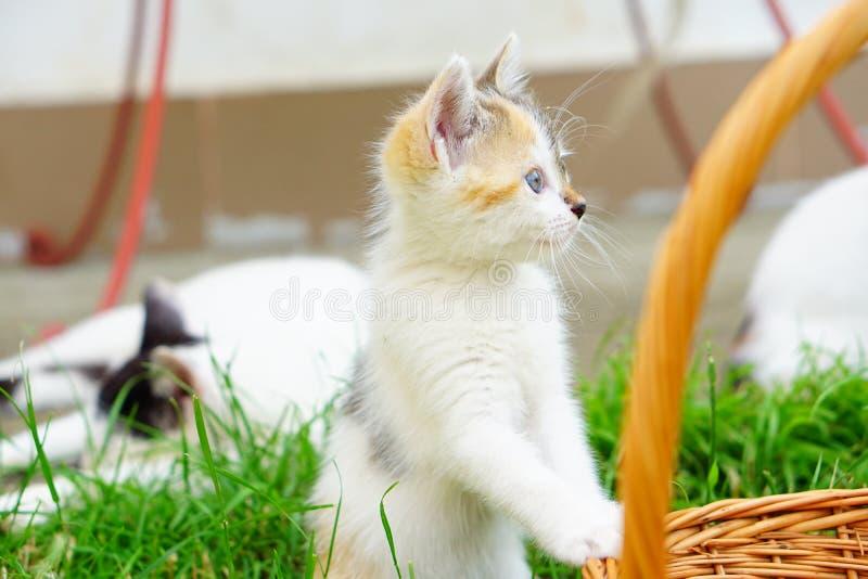 Gatito observador observado azul en el ambiente natural imagen de archivo